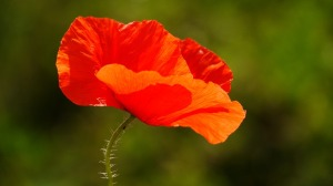 poppy-112328_960_720