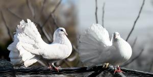 pigeons-1355123_960_720